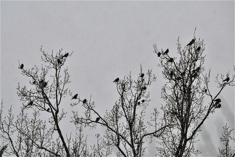 Crows in snow 10.01 (4)