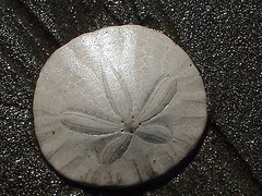 Sand Dollar | by shesnuckinfuts