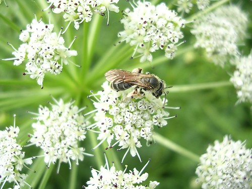 Solitary bee on cow parsley | by charlesroper