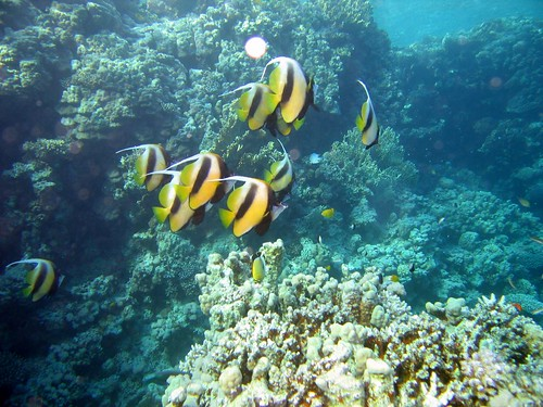 red sea bannerfish | by jon hanson