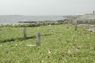 被布袋蓮覆蓋的福寶海岸 Fubao coast is covered by Water hyacinth | by Changhua Coast Conservation Action