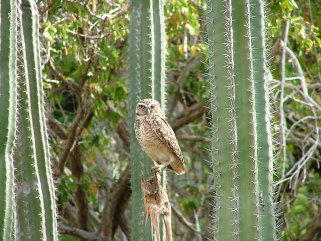 Shoco Owl Aruba S Burrowing Owl Named Shoco In