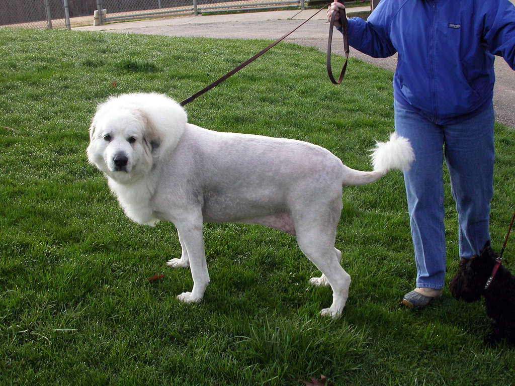 Liondog a friend just got their great pyrenees 39 fur cut for Picture great