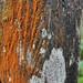 I Lichen This Wood