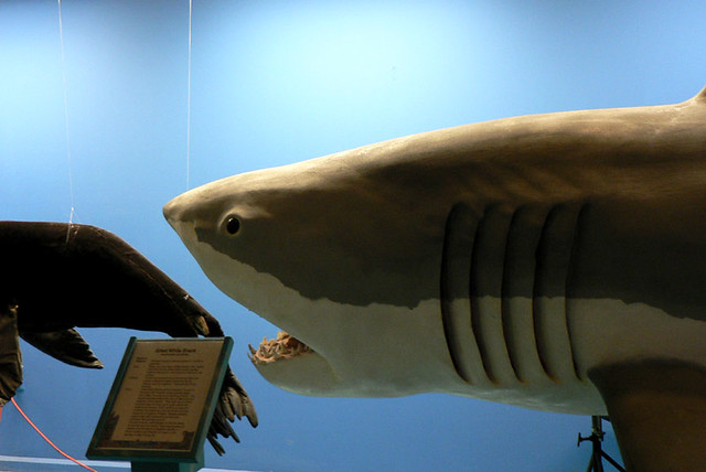 natural history of the great white The great white shark (carcharodon carcharias) is the largest of all shark species that mainly inhabits in the coastal waters and other significant oceans.