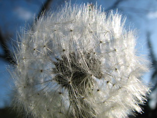 April 24, 2006: Dandelion | by Matt McGee
