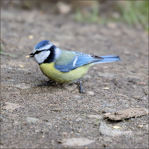 blue tit | by Sabinche