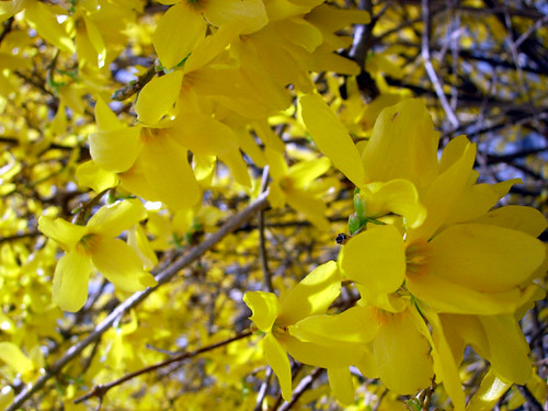 Forsythia | by Hogger & Co.