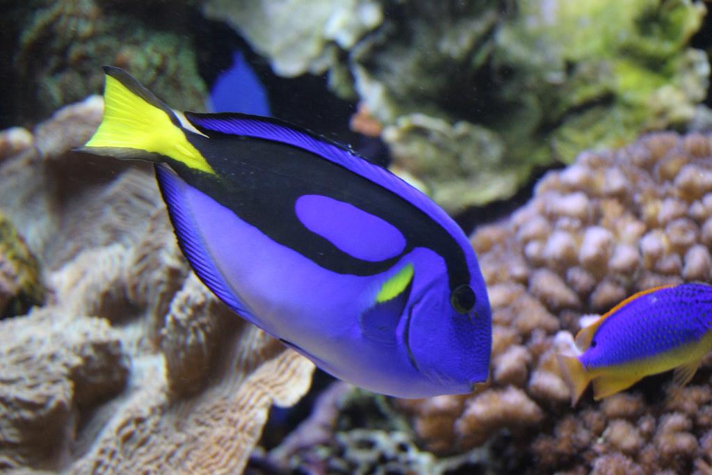 Dori fish alex flickr for Picture of dory fish