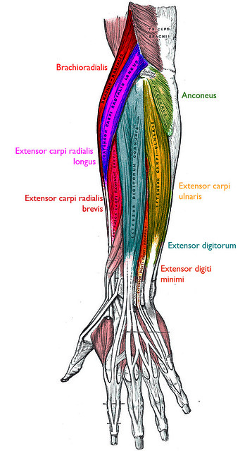 Posterior forearm superficial muscles | nickbrazel | Flickr