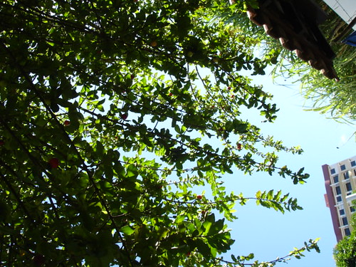 Bermuda cherry tree alternative angle l via b flickr - Romanian cherry tree varieties ...