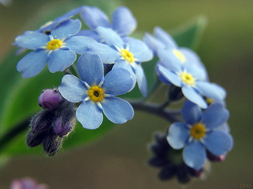 Forget-me-not | by dawnzy58