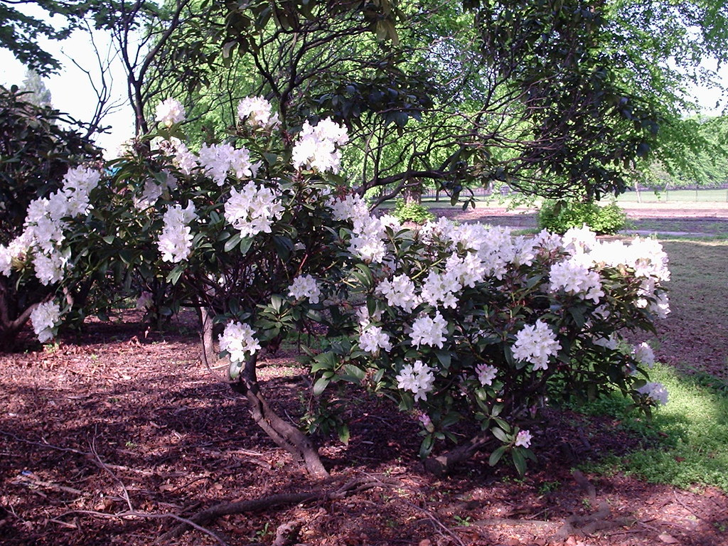 mini rhododendron isn 39 t it beautiful campus is full of. Black Bedroom Furniture Sets. Home Design Ideas