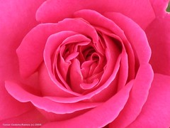 Spiral Pink Swirls | by PhotosByTamar