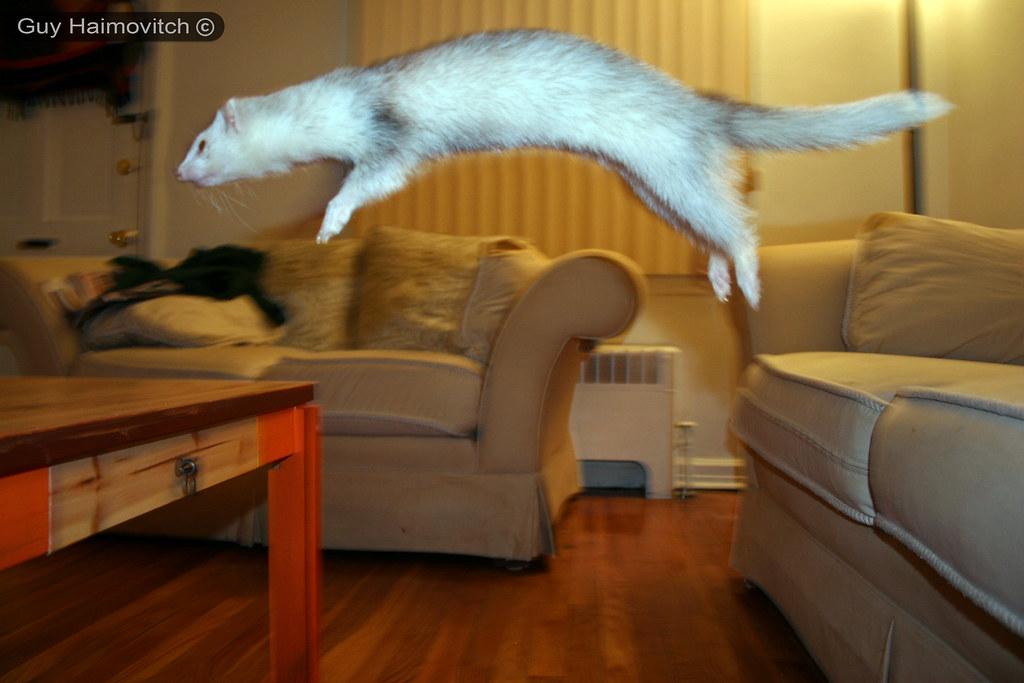 A Flying Ferret - חמוס מעופף