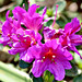 AUS, NSW, Sydney, Botanic Gardens I
