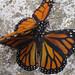 monarcas02