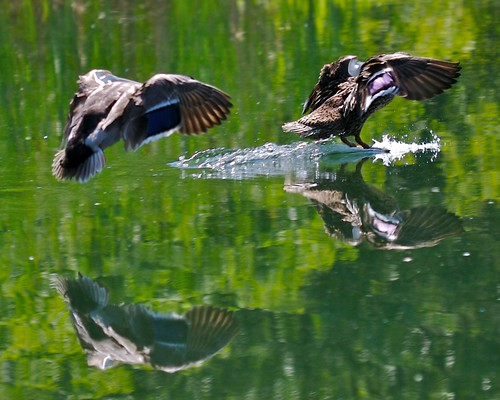 Ducks Landing on Water | by bbum