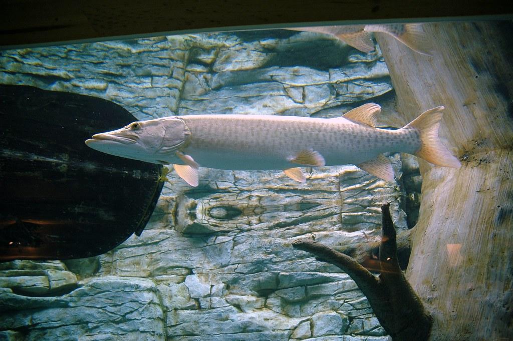 Cabela 39 S Aquarium In Rogers Mn A Muskie Cabela 39 S