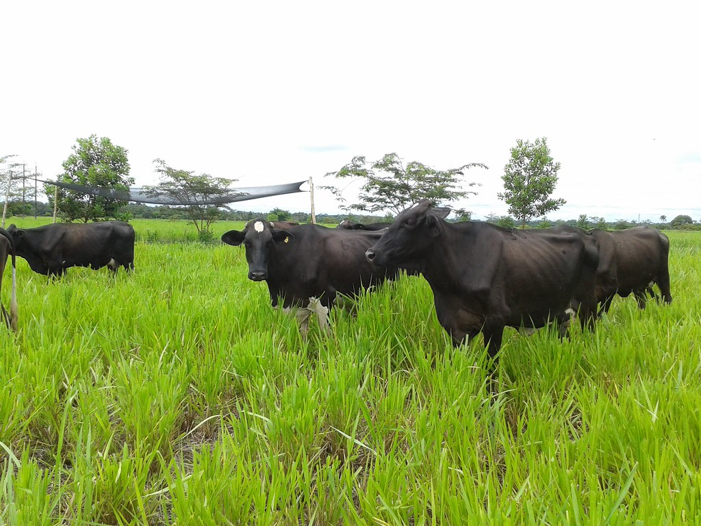 Lechero Colombia Hato Lechero Colombia