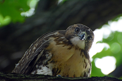 JHW Hawk Fledgling - 4346