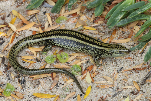 Swamp Skink (Lissolepis coventryi) | by Nick Gale