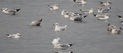 Mediterranean Gull Ichthyaetus melanocephalus Tophill Low NR, East Yorkshire February 2017