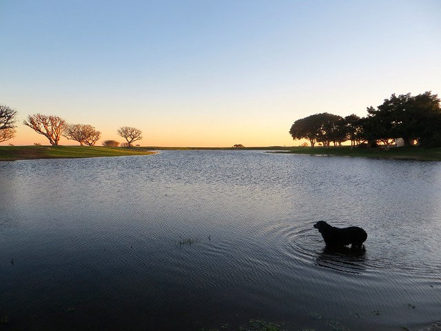 tiny Labrador in the pond