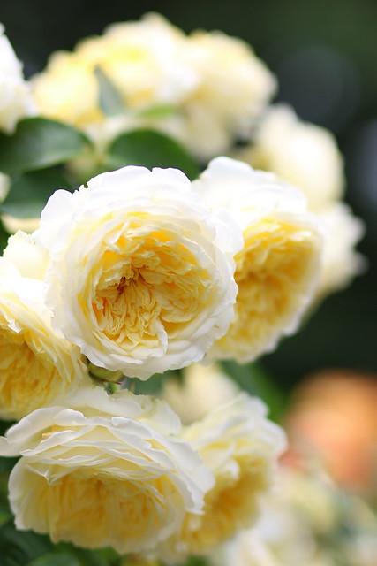 Rose:シャルロット