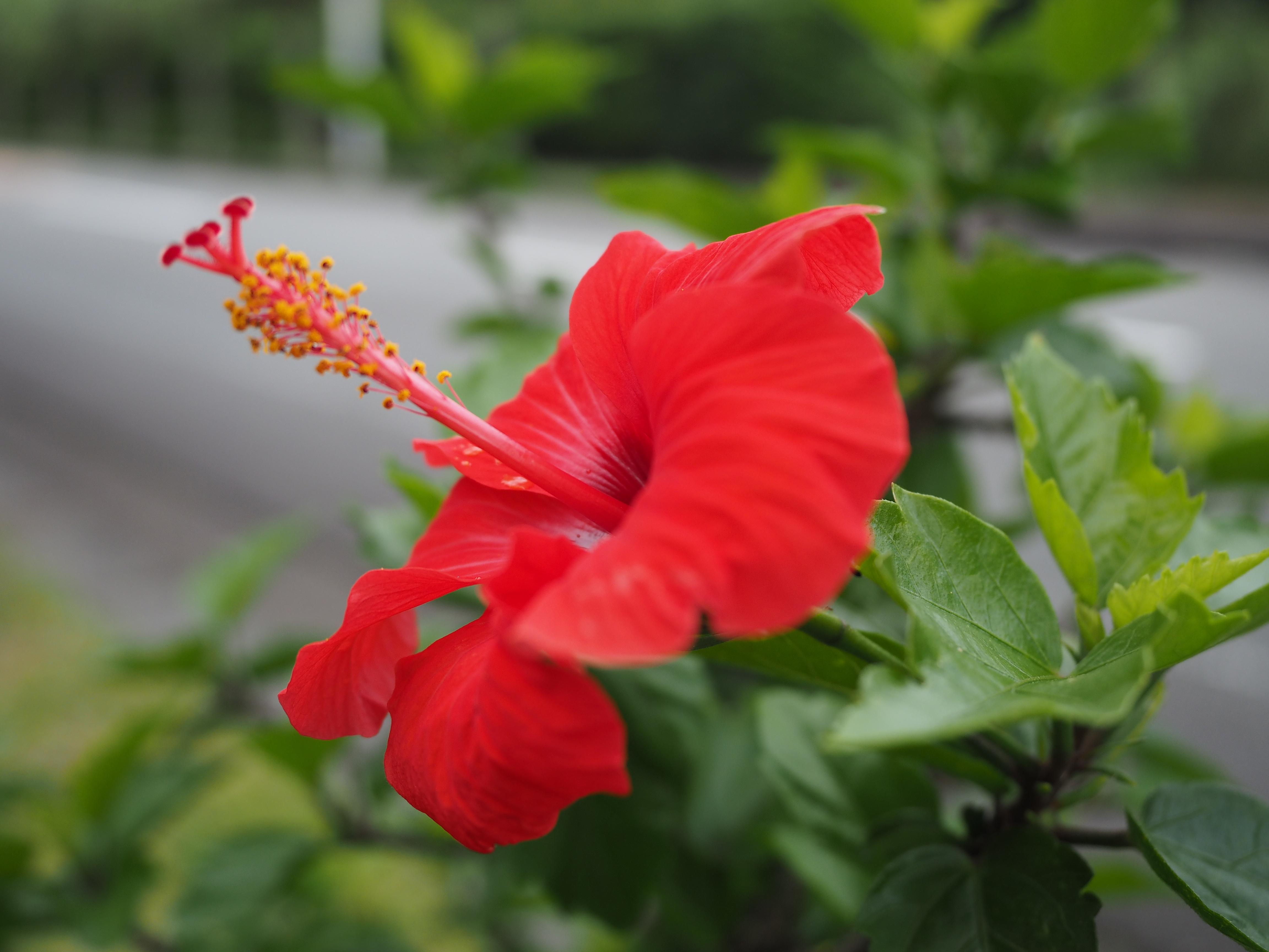 八丈島の花々