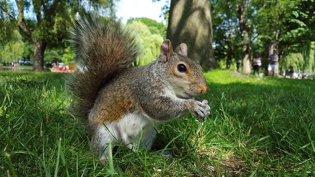 Galaxy S6 Squirrel Photo by Andy Ihnatko
