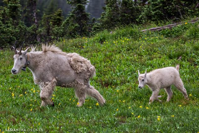 Mama and Baby Goat Take a Walk