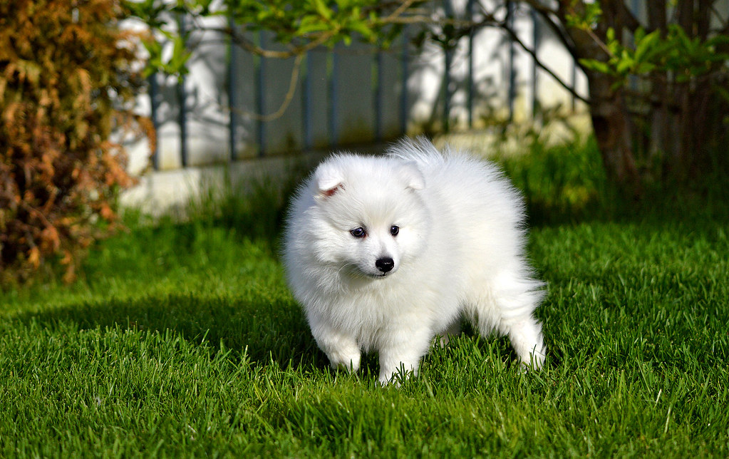 Japanese Spitz Puppy 7 Weeks Puppy Have A Wonderful S Flickr