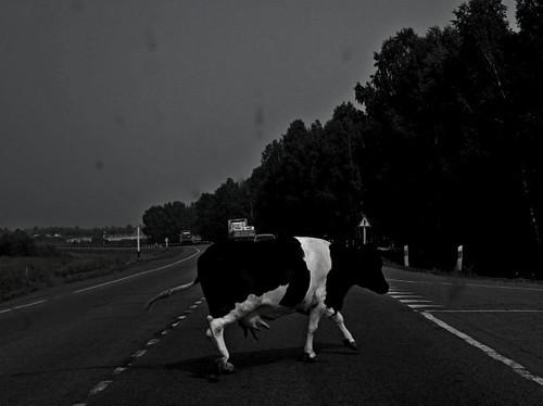 Два водії потрапили в лікарню через корову