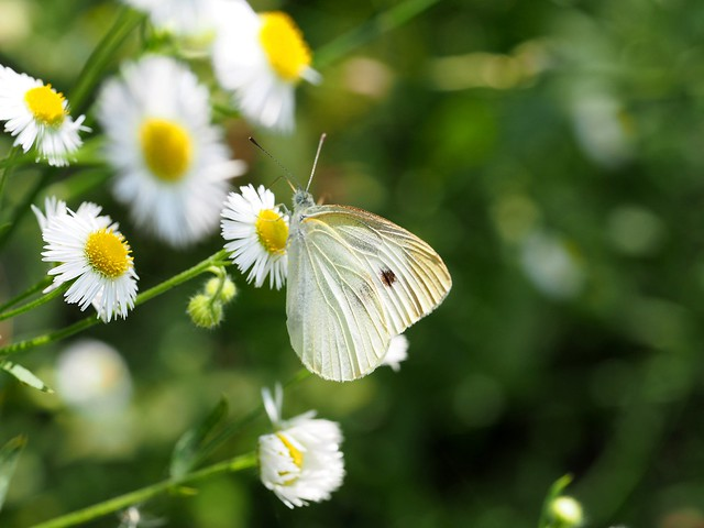 Gray-veined white butterfly (Pieris melete, スジグロシロチョウ)