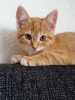 Callisto-kitten