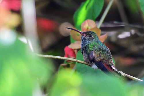 FL: Buff-bellied Hummingbird 2