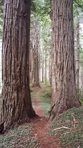 Trail through the giant trees