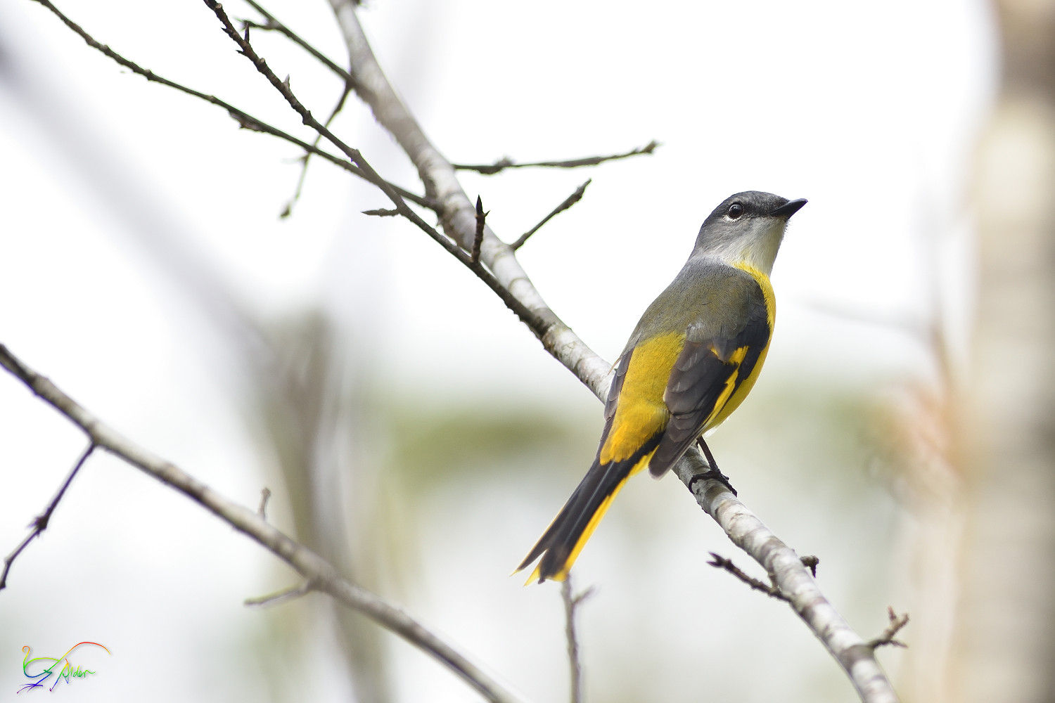 Grey-chinned_Minivett_7890