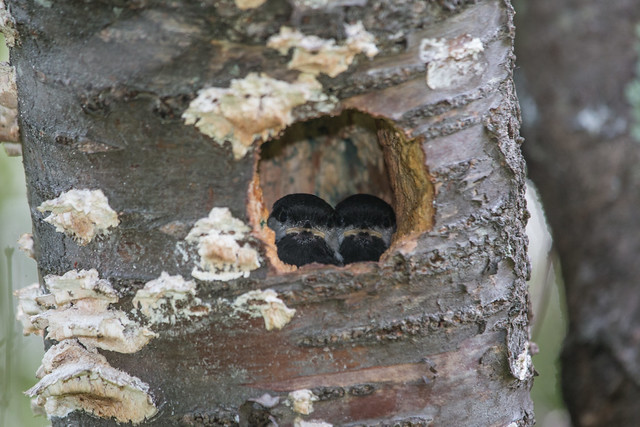Black-capped Chickadee nestlings