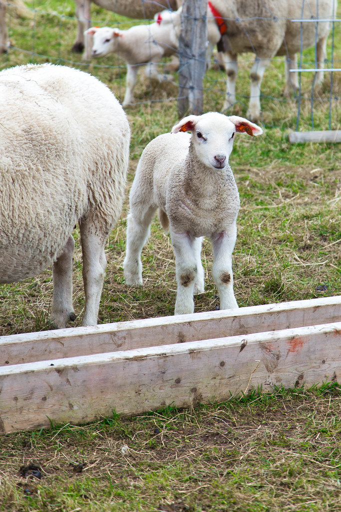 Sheep-19