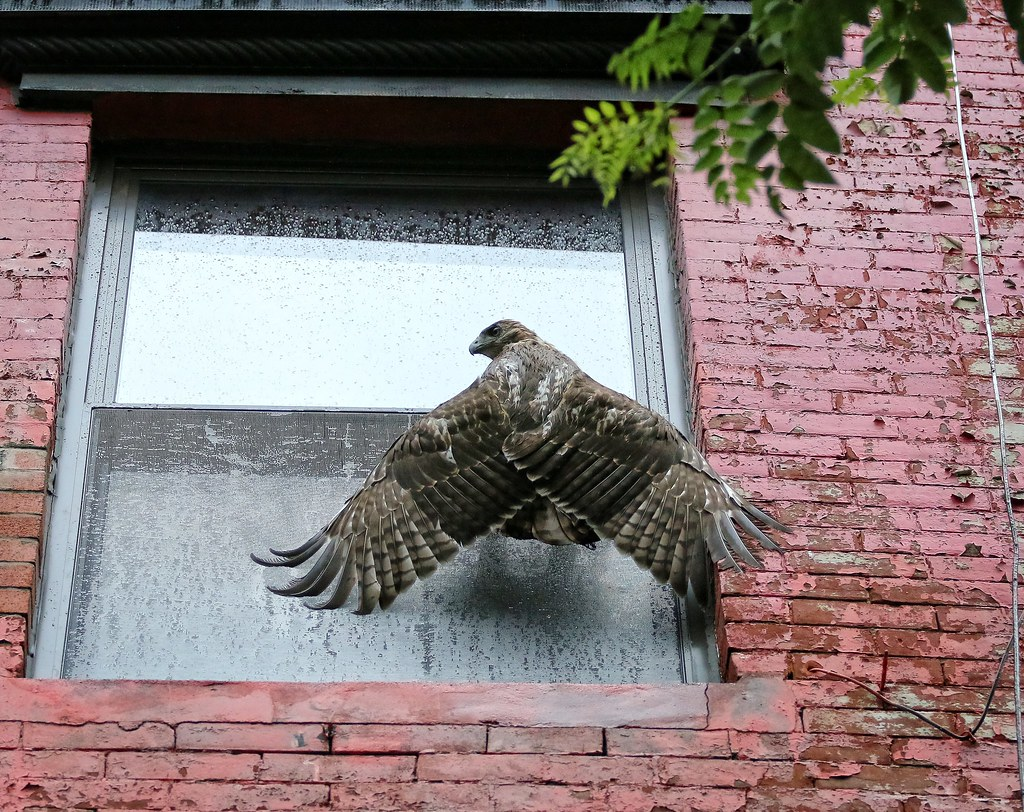 Fledgling #1 battles with a window screen