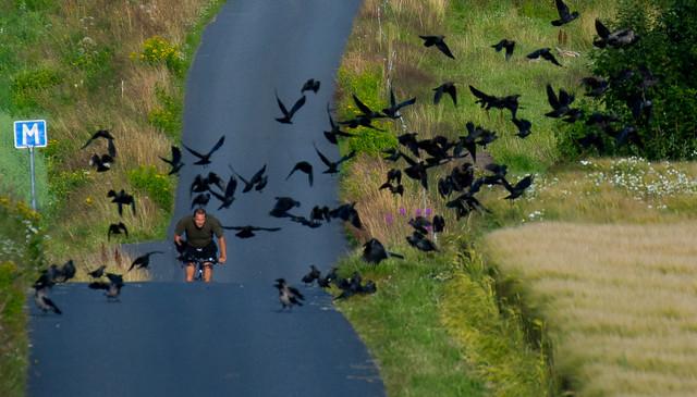 काक, कव्वा, crow