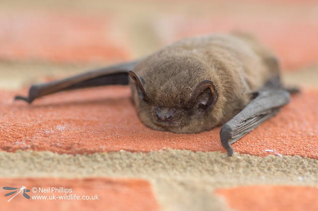 53 Nathusius's pipistrelle