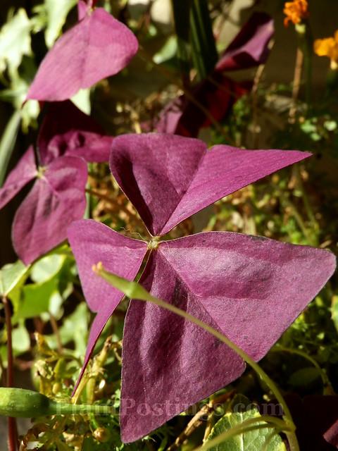 oxalis foliage