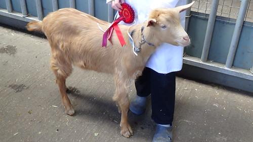 Bill Quay Goat Show June 15 (2)