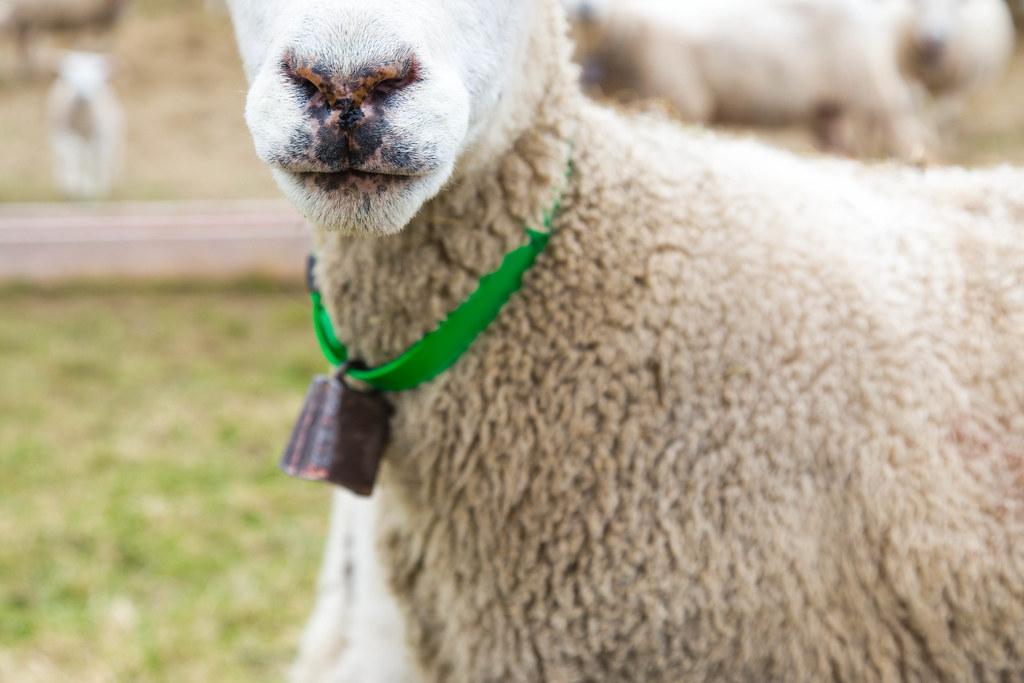 Sheep-12
