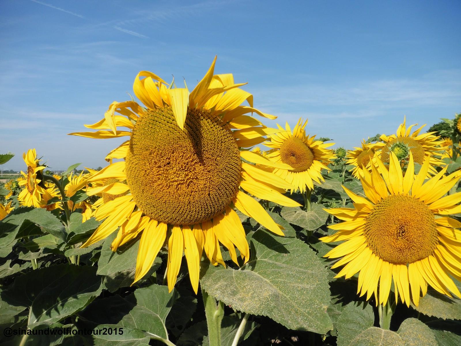 noch mehr Sonnenblumen