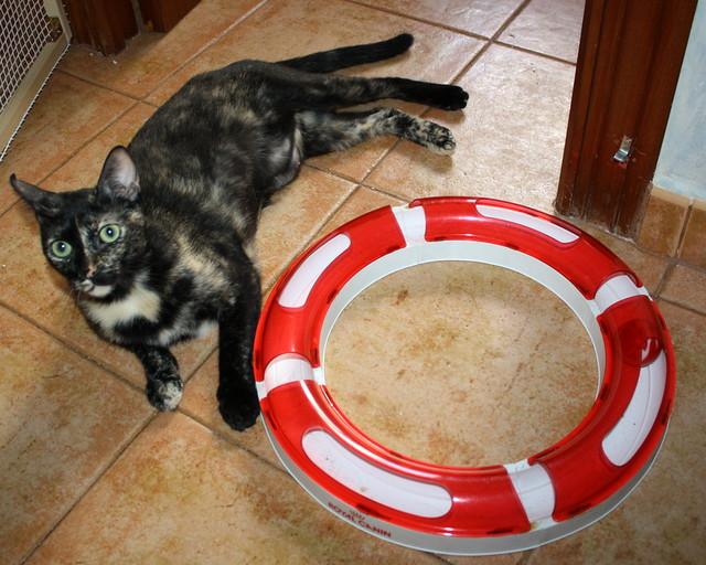 FALLECIDA- Mandala, preciosa gatita carey dulcísima de ojos verdes esterilizada, nacida en Julio´14, en adopción. Valencia. 19382741474_019277014a_z