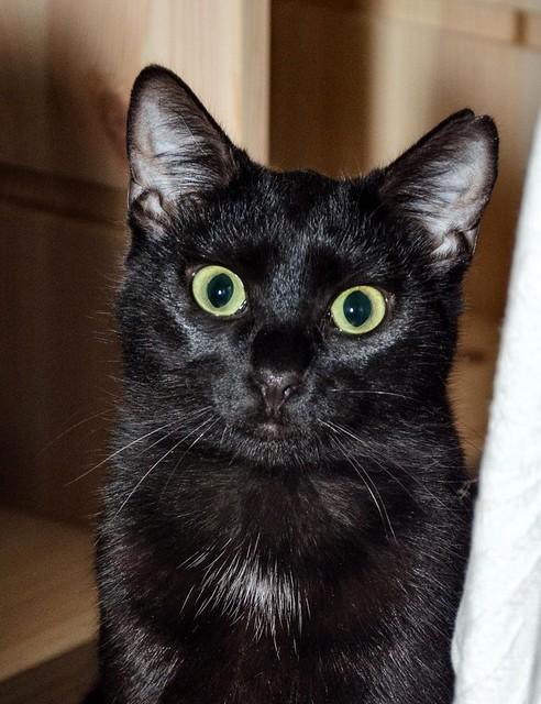 Morgana, gatita negra monísima, juguetona y tímida esterilizada, nacida en Julio´16, en adopción. Valencia. ADOPTADA. 32026330233_6dd56e8c0f_z